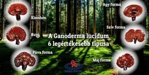 ganoderma gombák